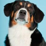 Entlebucher Mountain Dog isolated on light blue background. Studio shot. — Stock Photo #11220818