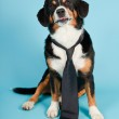 Entlebucher Mountain Dog wearing hat and tie isolated on light blue background. Studio shot. — Stock Photo #11220823