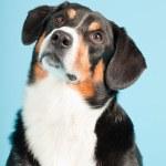 Entlebucher Mountain Dog isolated on light blue background. Studio shot. — Stock Photo #11220879