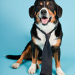 Entlebucher Mountain Dog wearing hat and tie isolated on light blue background. Studio shot. — Stock Photo #11220880