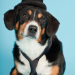 Entlebucher Mountain Dog wearing hat and tie isolated on light blue background. Studio shot. — Stock Photo #11220917