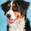 Berner sennen dog isolated on light blue background. Studio shot. Puppy. - Stock Photo