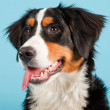 Berner sennen dog isolated on light blue background. Studio shot. Puppy. — Stock Photo