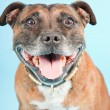 Brown old staffordshire isolated on light blue background. Studio shot. - Stock Photo