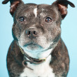 Black old staffordshire dog isolated on light blue background. Studio shot. - Stock Photo