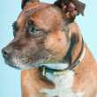 Stock Photo: Brown old staffordshire isolated on light blue background. Studio shot.
