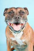 Brown old staffordshire isolated on light blue background. Studio shot. — Stock Photo