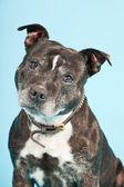 Black old staffordshire dog isolated on light blue background. Studio shot. — Stock Photo