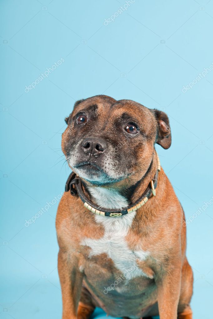 Brown old staffordshire isolated on light blue background. Studio shot. — Stock Photo #11224065