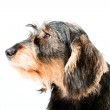 Dachshund brown and black isolated on white background. Studio shot. — Stock Photo #11247894