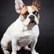 Brown white french bulldog isolated on black background. Studio shot. — Stock Photo