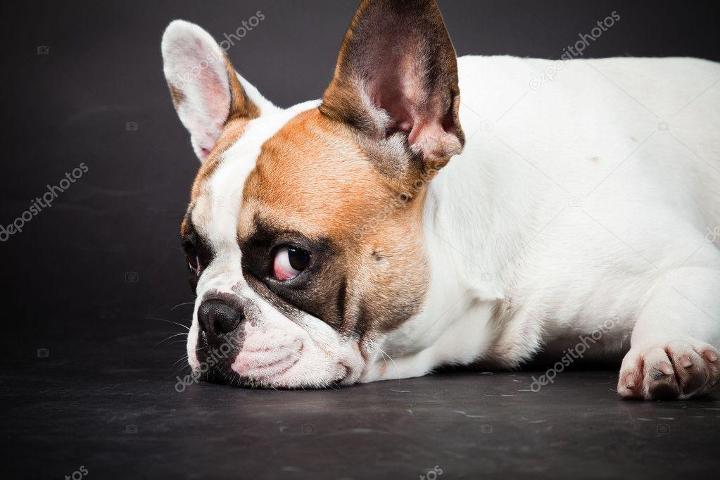 French bulldog brown