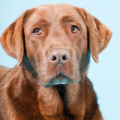 Studio portrait of brown labrador isolated on light blue background. — Stock Photo