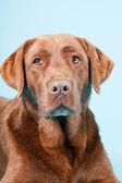 Studio porträtt av brun labrador isolerad på ljusblå bakgrund. — Stockfoto
