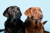 Studio portret van twee labradors geïsoleerd op lichte blauwe achtergrond. bruin en zwart. — Stockfoto