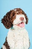White brown spanish waterdog isolated on light blue background. Perro de Agua Espanol. — Stock Photo