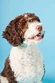 White brown spanish waterdog isolated on light blue background. Perro de Agua Espanol. — Stock Photo