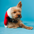Cute Yorkshire terrier dog with christmas hat isolated on light blue background. Studio shot. — Stock Photo