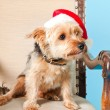 Cute Yorkshire terrier dog with christmas hat sitting in chair isolated on light blue background. Studio shot. - Stock Photo