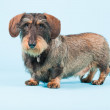 Studio portrait of cute brown black dachshund isolated on light blue background. — Stock Photo