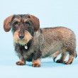 Studio portrait of cute brown black dachshund isolated on light blue background. — Stock Photo #11301984