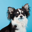 Cute Chihuahua black and white isolated on light blue background. Long hair. Studio portrait. — Stockfoto