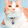 Studio portrait of red white cat isolated on light blue background — Stock Photo