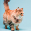 Studio portrait of main coon cat isolated on light blue background. — Stock Photo #11305088
