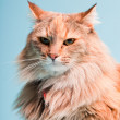 Studio portrait of main coon cat isolated on light blue background. — Stock Photo #11305162