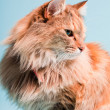 Studio portrait of main coon cat isolated on light blue background. — Stock Photo #11305165