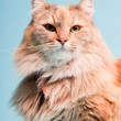 Studio portrait of main coon cat isolated on light blue background. — Stock Photo