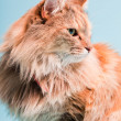 Studio portrait of main coon cat isolated on light blue background. — Foto de Stock