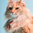 Royalty-Free Stock Photo: Studio portrait of main coon cat isolated on light blue background.