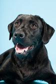 Söt svart labrador retrieveren isolerad på ljusblå bakgrund. studio skott. — Stockfoto