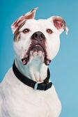 American bulldog white brown isolated on light blue background. Studio shot. — Stock Photo