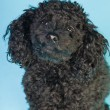 Cute little black poodle dog isolated on light blue background. Studio shot. — Stock fotografie
