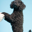 Cute little black poodle dog isolated on light blue background. Studio shot. — Stockfoto