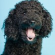 Cute little black poodle dog isolated on light blue background. Studio shot. - Stock Photo