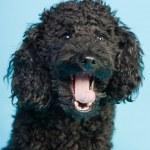 Cute little black poodle dog isolated on light blue background. Studio shot. — Stock Photo #11321254