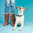 Mixed breed dog short hair brown and white sitting next to legs of owner isolated on light blue background. Studio shot. — Stock Photo