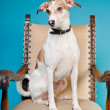 Mixed breed dog short hair brown and white on big chair isolated on light blue background. Studio shot. — Stock Photo