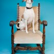 Mixed breed dog short hair brown and white on big chair isolated on light blue background. Studio shot. — Stock Photo #11321528