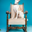 Mixed breed dog short hair brown and white on big chair isolated on light blue background. Studio shot. — Stock Photo #11321543