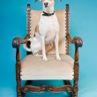 Mixed breed dog short hair brown and white on big chair isolated on light blue background. Studio shot. — Stock Photo #11321545