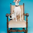 Mixed breed dog short hair brown and white on big chair isolated on light blue background. Studio shot. — Stock Photo #11321548
