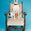 Mixed breed dog short hair brown and white on big chair isolated on light blue background. Studio shot. — Stock Photo #11321560
