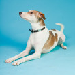 Mixed breed dog short hair brown and white isolated on light blue background. Studio shot. — Stock Photo #11321590