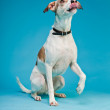 Mixed breed dog short hair brown and white isolated on light blue background. Studio shot. — Stock Photo