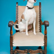 Mixed breed dog short hair brown and white on big chair isolated on light blue background. Studio shot. — Stock Photo #11321606