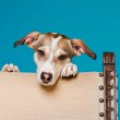Mixed breed dog short hair brown and white looking curious over back of chair isolated on light blue background. Studio shot. — Stock Photo